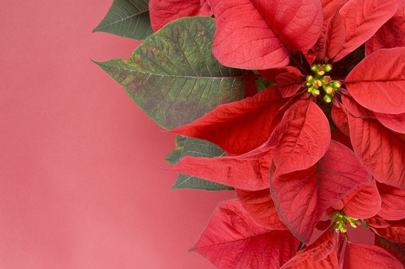 Poinsettias for Advent and Christmas